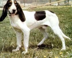 Berner Laufhund – Courant Bernois