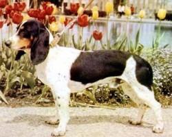 Berner Niederlaufhund Glatthaar – Petit Courant Bernois Poil Lisse