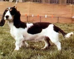 Berner Niederlaufhund Rauhhaar – Petit Courant Bernois Poil Dur