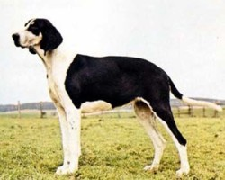 Cane Francese Bianco e Nero