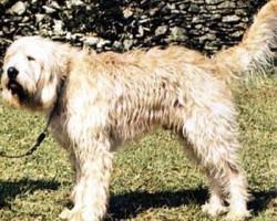 Cane da Lontra