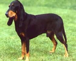 Jura Laufhund – Bruno du Jura