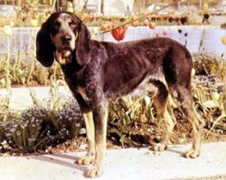 Luzerner Laufhund – Courant Lucernois