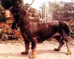 Luzerner Niederlaufhund – Petit Courant Lucernois