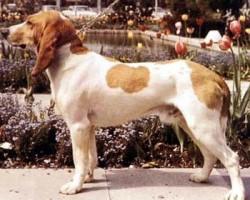 Schwyzer Laufhund – Courant Schwytzois
